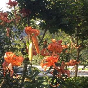 オニユリ咲き猛暑日