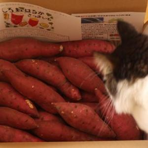 ふるさと納税 高知県室戸市 白い紅はるか 4.2kg