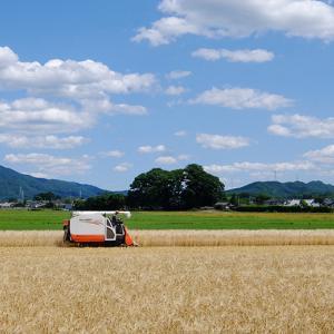 収穫の麦畑