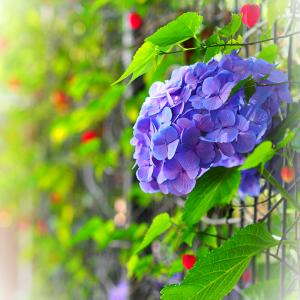 雨あがりの紫陽花♪