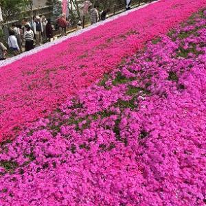 姫路観光第2弾!4月21日現在、ヤマサ蒲鉾の芝桜が見頃です。