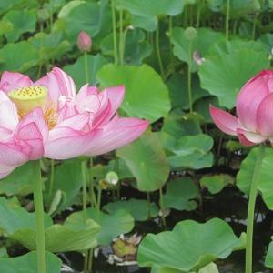 フォトコンテスト開催中!ヤマサ蒲鉾の『蓮の花苑』に行って来ました。