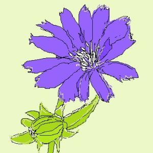 チコリの花 節約