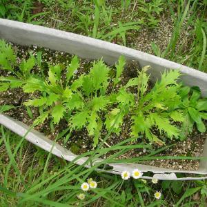 水菜の廃プランター栽培