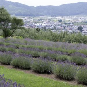 小出屋ラベンダー園(長野県)