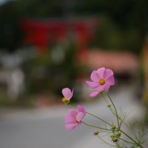 コスモスの咲く時期