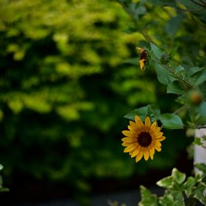 夏の証#6 小柄な向日葵