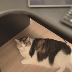 我が家の猫#2 在宅勤務ならかまって