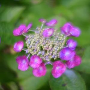 紫陽花 オールドレンズと多重露光で