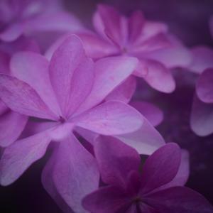紫陽花#2 オールドレンズと多重露光で