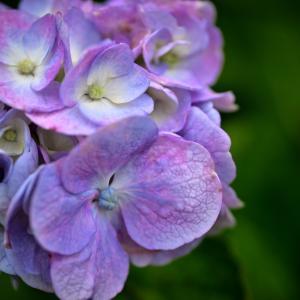 紫陽花#3 オールドレンズ