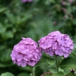 紫陽花#4 オールドレンズでフィルム風