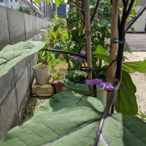 家庭菜園  今年も野菜育ててます