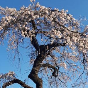 地蔵禅院の桜と玉津岡神社 京都府井手町