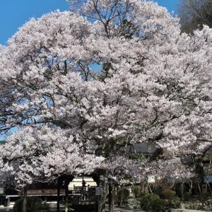 本善寺の桜~下北山村スポーツ公園の桜