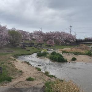 葛城川の桜~馬見丘陵公園のチューリップ
