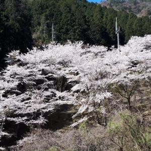 果無集落~七郎桜