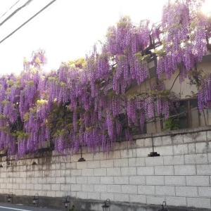 熊野街道信達宿のふじまつり  大阪府泉南市