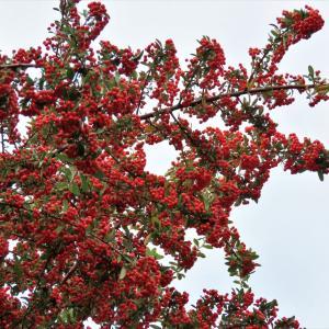 秋高し朝、里山の野鳥観察写真2