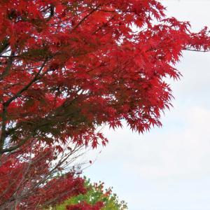 秋高し、里山の朝の野鳥観察写真。。今朝はカワセミがメイン。。