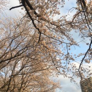 ドルと散歩コースの桜