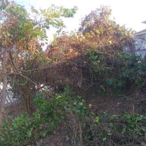 擁壁を覆っている蔦が絡まった樹木を、