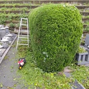 植え込みは、端から丸く丸く、剪定していきます。