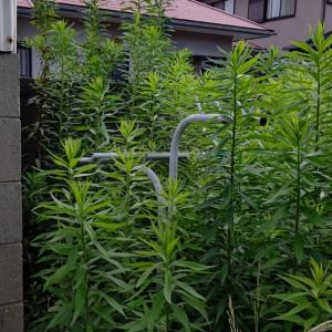 中庭の雑草は、ゆうに2メートルをこえています。