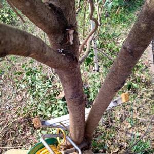張り出した軒にコンパネを敷き、軒に登って、庭木を