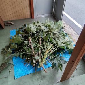 昨日切った立木の枝を、軽バンに積んだら、草むしりの