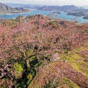 しまなみ海道 3,000本桜の岩城島 積善山