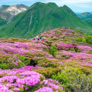 弾丸さんふらわあ 久住山系 平治岳ミヤマキリシマの花咲く頃
