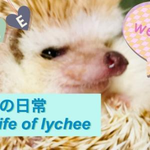 youtube投稿しました!ハリネズミのライチの日常生活をのぞいてみた!youtube posted!I took a glimpse of the daily life of a hedgehog lychee!