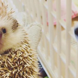 ハリネズミのミントとライチに新しい仲間ができた!〜チワワのパインちゃん!Hedgehog mint and lychee have new friends!  ~ Pine-chan of Chihuahua!