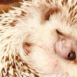 今夜のミント(ショート編)Hedgehog Mint tonight(short version)