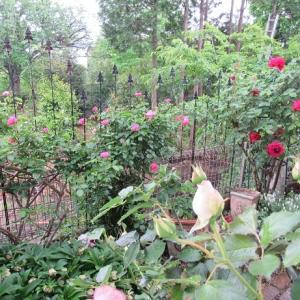 我が家の薔薇たち