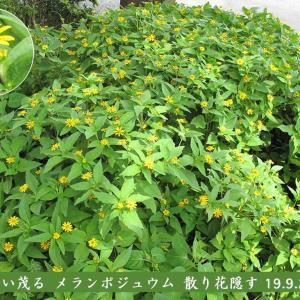 メランポジュウムの花