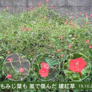 モミジバルコウソウの花