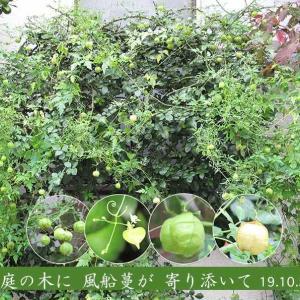 フウセンカズラの花と果実