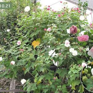スイフヨウの花