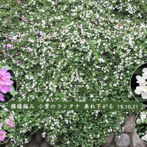 コバノランタナの花