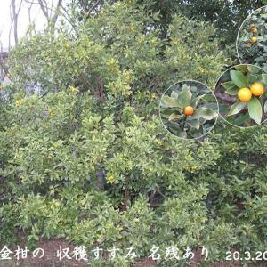 キンカンの果実