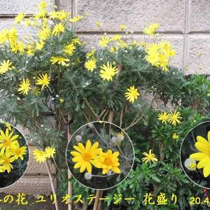 ユリオスデージーの花