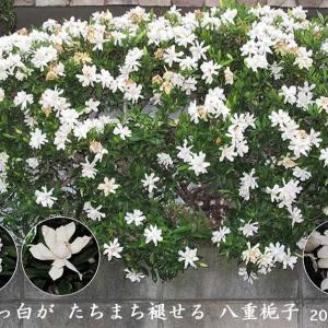 ヤエクチナシの花