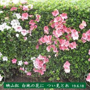 サツキ白地の花