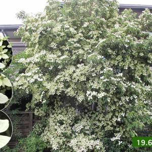 ジョウリョクヤマボウシの花