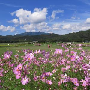 京都・嵯峨野の秋桜