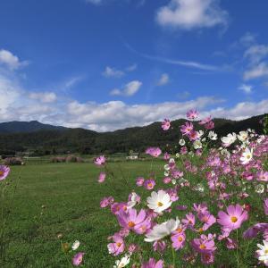 嵯峨野のコスモス2019、そして夕景