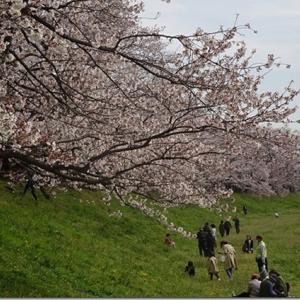 桜を独り占めできる【八幡背割提さくら】桜の物量は京都一です<アクセス、駐車場、駐輪場、トイレ詳細情報>