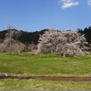 ガイドブックに載らない桜の名所【平安郷】京都観光穴場と言えば、名実ともにナンバーワン